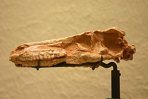 Troodontidae - Skull of the troodontid Saurornithoides mongoliensis.