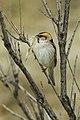 Saxaul Sparrow - Almaty - Kazakistan S4E1781 (22800579836).jpg