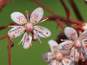 Saxifraga × urbium - Close-up of blossom