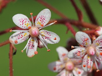 Saxifraga × urbium - Close-up of blossom