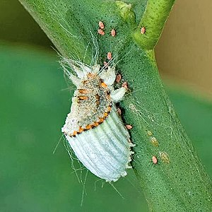 Scale insect - Adult female cottony cushion scale (Icerya purchasi) with young crawlers