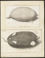 Scalops aquaticus - 1700-1880 - Print - Iconographia Zoologica - Special Collections University of Amsterdam - UBA01 IZ20900163.tif