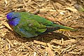 Scarlet Chested Parakeet01.jpg