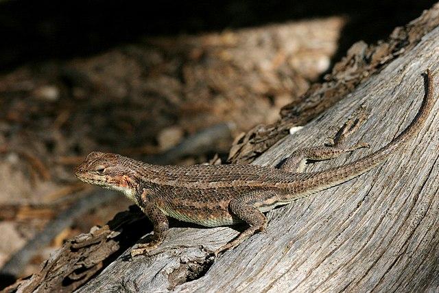 sagebrush lizard