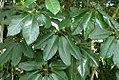Schefflera actinophylla 10zz.jpg