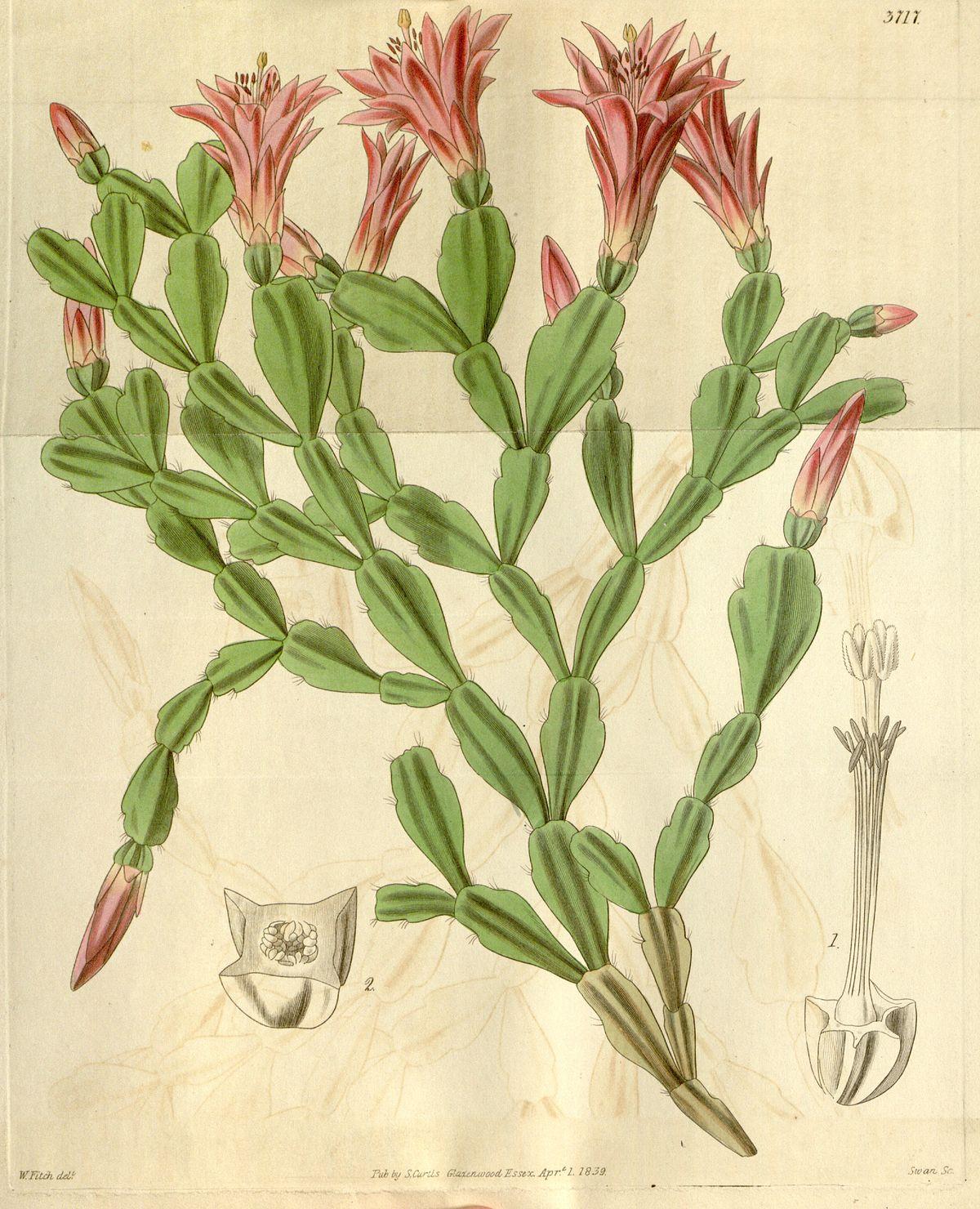 Schlumbergera russelliana (Epiphyllum russellianum) Bot. Mag. 66. 3717. 1839.jpg