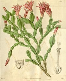 Drawing is probably of a pressed specimen as it appears flat; the base is at the bottom and the plant then branches repeatedly – about six times in the longest branch. Most branches end in either buds or regular flowers which are pinkish.