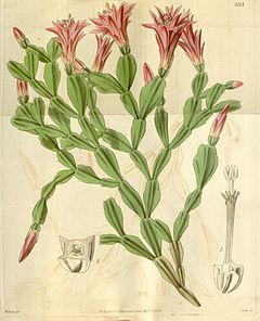 Schlumbergera russelliana (Epiphyllum russellianum) Bot. Mag. 66. 3717. 1839