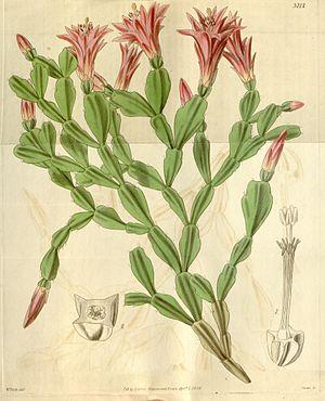 Schlumbergera - Image: Schlumbergera russelliana (Epiphyllum russellianum) Bot. Mag. 66. 3717. 1839