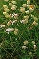 Schynige Platte Botanischer Alpengarten - (10955650374).jpg