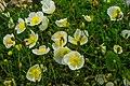Schynige Platte Botanischer Alpengarten - Delphinium elatum (10955444165).jpg