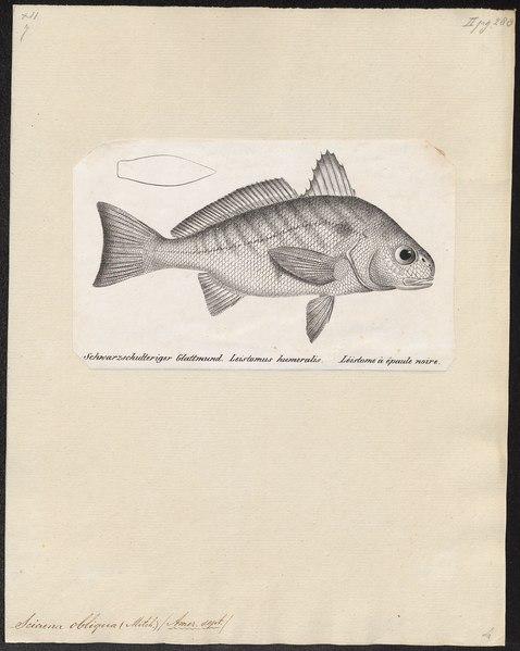 File:Sciaena obliqua - 1700-1880 - Print - Iconographia Zoologica - Special Collections University of Amsterdam - UBA01 IZ13400023.tif