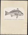 Sciaena obliqua - 1700-1880 - Print - Iconographia Zoologica - Special Collections University of Amsterdam - UBA01 IZ13400023.tif
