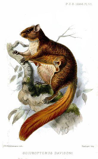 Iomys - Javanese flying squirrel (Iomys horsfieldii)