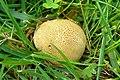 Scleroderma areolatum.jpg