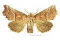 Scoliopteryx libatrix SLU.JPG
