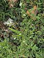 Scoparia dulcis 1.JPG