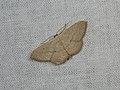 Scopula optivata (42267519442).jpg