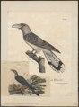 Scythrops novae hollandiae - 1825-1834 - Print - Iconographia Zoologica - Special Collections University of Amsterdam - UBA01 IZ18800325.tif
