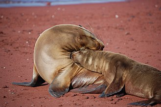 Maternal bond - Mother sea lion and pup.