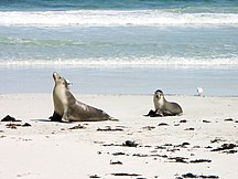 Kangaroo Island-Conservation-Sea lion and pup in Seal Bay - Kangaroo Island