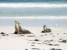 Sea lion and pup in Seal Bay - Kangaroo Island.jpg