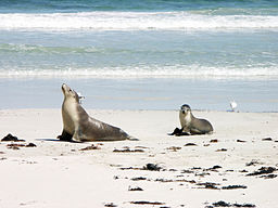 Sea lion and pup in Seal Bay - Kangaroo Island
