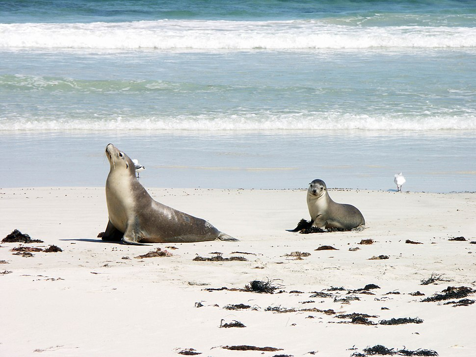 Sea lion and pup in Seal Bay - Kangaroo Island