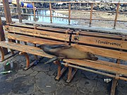 Sea lion sleeping on bench in Puerto Baquerizo Moreno 2013
