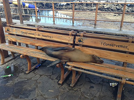 Adult Galapagos sea lion resting on a park bench in Puerto Baquerizo Moreno. Sea lion sleeping on bench in Puerto Baquerizo Moreno 2013.JPG