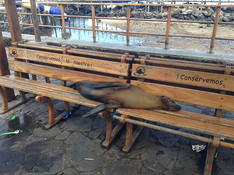 Bestand:Sea lion sleeping on bench in Puerto Baquerizo Moreno 2013.JPG