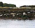 Seals on Sgeirean a' Mhaoil - geograph.org.uk - 363244.jpg