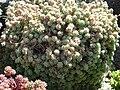 Sedum dasyphyllum (1) 4.JPG
