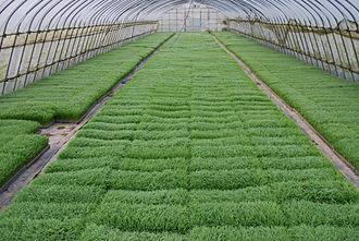 Seedbed - A seedbed of rice plants