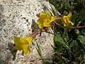 Seep monkeyflower, Erythranthe guttata (15639233524).jpg