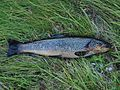Self-caught fish in Lapland.jpg