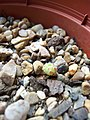 Sempervivum foundling (4733417782).jpg