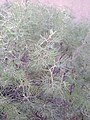 Senna artemisioides bush.jpg