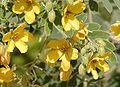 Senna lindheimeriana flowers.jpg