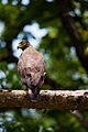 Serpent eagle.jpg