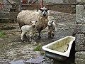 Sheep at Balynahatty - geograph.org.uk - 746671.jpg