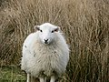 Sheep on Arthog Farm - geograph.org.uk - 344657.jpg