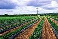Sheeplands Farm - Strawberry Fields Forever - geograph.org.uk - 16658.jpg