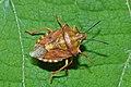 Shield bug Carpocoris purpureipennis (9024488225).jpg