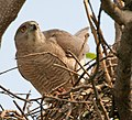 Shikra (Accipiter badius) at nest in Hyderabad W IMG 7153.jpg