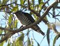 Shining Bronze Cuckoo (Chrysococcyx lucidus) 01.JPG