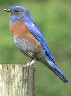 Mavi Kuş Vikipedi