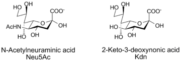 N-acetylneuraminic acid and Kdn, two sialic acids