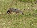 Side-striped jackal Kidepo Valley.jpg