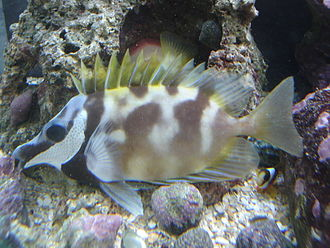 Foxface rabbitfish - During nighttime or when stressed the foxface rabbitfish changes to a duller mottled pattern